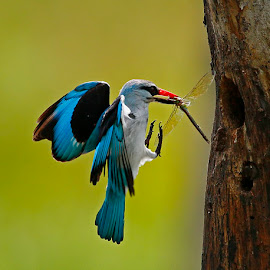 Woodland Kingfisher by Chris Krog - Animals Birds ( blue, kingfisher, woodland )