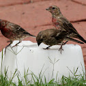 House finches using salt block