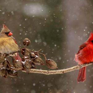 winter cardinals.jpg