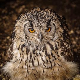 Menacing by Garry Chisholm - Animals Birds ( bird, garry chisholm, eagle, nature, owl, wildlife, prey, raptor )