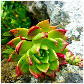 Succulent  by Jennifer Watkins Odom - Nature Up Close Other plants