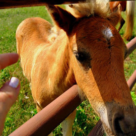 Baby wanted some love... by Sherri Murphy - Animals Horses ( pony, nature, nuzzle, horses, country )