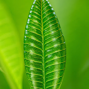 Daun Muda by Rah Juan - Nature Up Close Other plants ( macro, nature, leaf, balinaturalphotoworks, rahjuan )