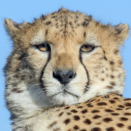 Cheetah Portrait by Mark Hughes - Animals Lions, Tigers & Big Cats ( spots, cat, portrait., nature, wildlife, feline, big )