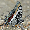 Giant Charaxes