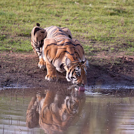 by Sathya Vagale - Animals Lions, Tigers & Big Cats