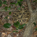 Eastern Diamondback