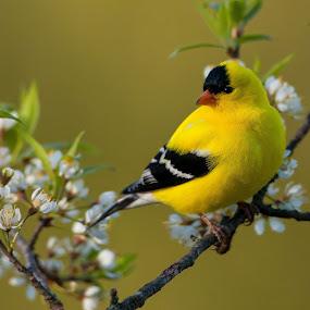 Goldfinch by Tom Samuelson - Animals Birds