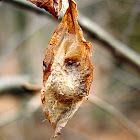 Unknown Moth Cocoon
