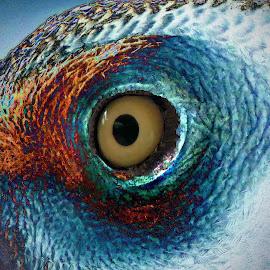 Eye.... by Amanda Coertze - Digital Art Animals ( eye,  )
