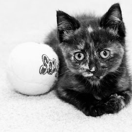 by Lawrence Burry - Animals - Cats Kittens ( pet portrait, cat, b&w, short hair cat, black and white, pet, stray kitten, domestic pet, feline, tennis ball, animal )