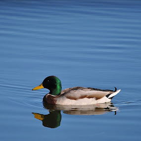 Duck Reflection by Ed Hanson - Animals Birds ( water, reflection, blue, duck )
