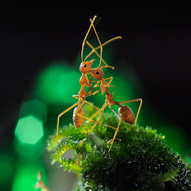 Dancing.. by Samsi Ismail - Animals Insects & Spiders ( ant dancing macro )