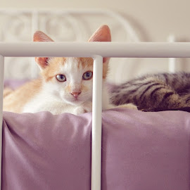 by Chrysta Rae - Animals - Cats Kittens ( cats, cat, kitten, kittens on a bed, kittens )