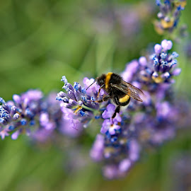 Bee on a levander flower by Péter Mocsonoky - Animals Insects & Spiders ( countryside, plant, smell, detail, aroma, colorful, landscape, spring, blossom, farm, nature, flower, purple, bee, green, beautiful, agriculture, lavender, rural, close-up, provence, field, herb, color, background, outdoor, perfume, meadow, summer, herbal, levander, natural, garden, floral )