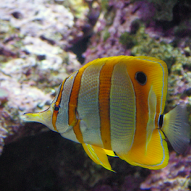 Yellow and White Tang by Jason Gaston - Animals Fish ( water, tang, fish, white, yellow, saltwater, salt,  )