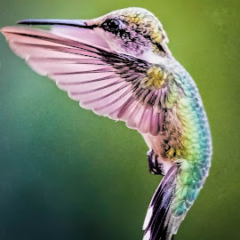 Swept Wings by Shawn Klawitter - Animals Birds ( animals, nature, hummingbird, outdoors, birds )