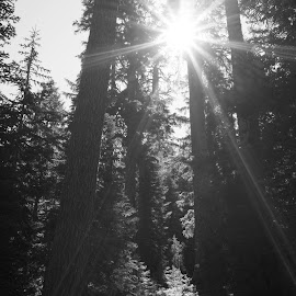 walking among giants on a sunny day by John Knowles-smith - Landscapes Forests ( national park, red woods, black and white, trees, forest )
