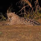 Onça (Jaguar)