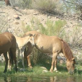 Wild Horses Along Salt River in Arizona by Rick Grybos - Animals Horses