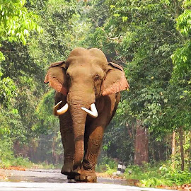 Cat Walk Of Elephant by Asim Mandal - Animals Other Mammals