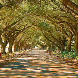 Live Oak Tree lane by Ron Olivier - Nature Up Close Trees & Bushes ( live oak tree lane, path, nature, landscape,  )