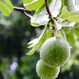 Hanging to Dry by Alan Chew - Nature Up Close Gardens & Produce ( poisonous, not edible, fruits, , jay goyani )