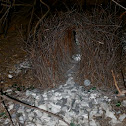 Great Bower bird nest