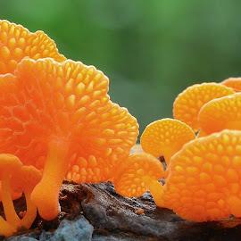 Favolaschia calocera - New Zealand by Mary Smiley - Nature Up Close Mushrooms & Fungi