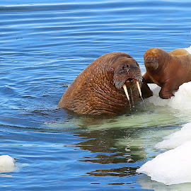 New Mom by Jack Molan - Animals Other Mammals ( cold, ice, pup, arctic, walrus )