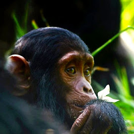 Chimpanzee  by Janet Rose - Novices Only Wildlife