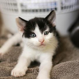 Black & White Kitten by Martin Green - Animals - Cats Kittens ( black and white cat, kitten, portrait )