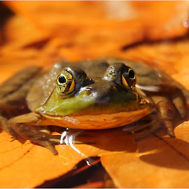 Autumn Frog by Dennis Ba - Animals Amphibians ( bullfrog, silver lake )