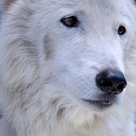 Search for Snow by We're All Mad Photography - Animals - Dogs Portraits ( arctic wolf, animals, wolf, white, portrait,  )
