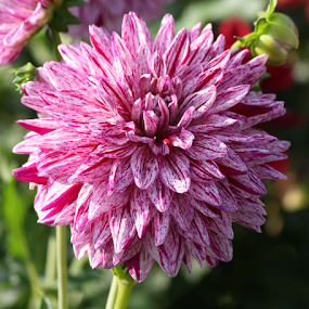 striped dahlia by Sharon Scholtes - Flowers Single Flower ( single, purple, green, striped, dahlia, flower )