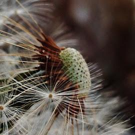 Dandelion make a wish  by Jennifer Newman - Nature Up Close Other plants ( macro, dandelion, white, flower, soft )