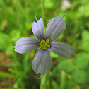 Eastern blue-eyed grass
