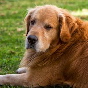 Gordo by Cristobal Garciaferro Rubio - Animals - Dogs Portraits ( male retriever, dog, golden, golden retriever )