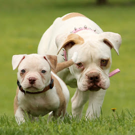 Ever get the feeling your being followed? by Tasha Chasteen's AmericanBulldogs - Animals - Dogs Playing ( bulldog, american bulldog, summer, puppy, fun, dog, cute, pretty, cute dog )