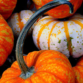 Long stem pumpkin by Liz Hahn - Food & Drink Fruits & Vegetables