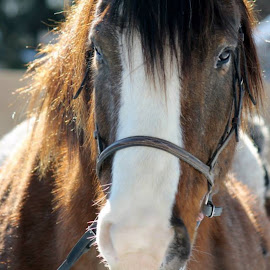 Driving Chevy  by Karli White - Animals Horses ( winter, appalosa, snow, driving, clydesdale, blaze, beauty )