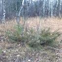 Coniferous plant
