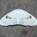 Jewel Moth