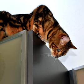 Zen Nine Feet High by Lin Fauke - Animals - Cats Playing ( cabinets, climb, kitten, cat, height, zen, bengal )