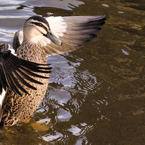 Spreading my wings by Diane Flynn - Animals Birds ( wingflap, swin, wings, pacific black duck, australia, duck, adelaide, pond )