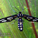 Amata Wasp Moth