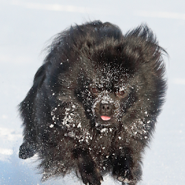Flying by Mia Ikonen - Animals - Dogs Running ( happy, airborne, german spitz klein, finland, kleinspitz,  )