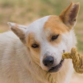 Doggy tug of war by Ram Kiran - Animals - Dogs Playing ( playing, playful, tug of war, mood, dog,  )