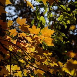 Yellow Maple by Jill Beim - Nature Up Close Leaves & Grasses ( orange, autumn, fall, yellow, leaves, , color, colorful, nature )
