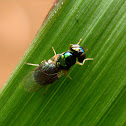 Pygmy Soldier Fly